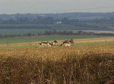 Deer seen near Chrishall